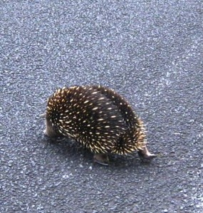 Why did the echidna cross the road